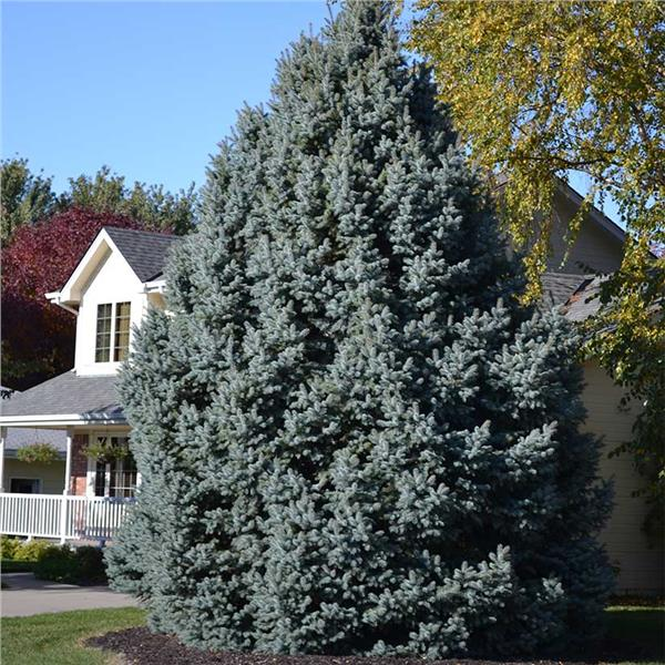 Colorado Blue Spruce evergreen