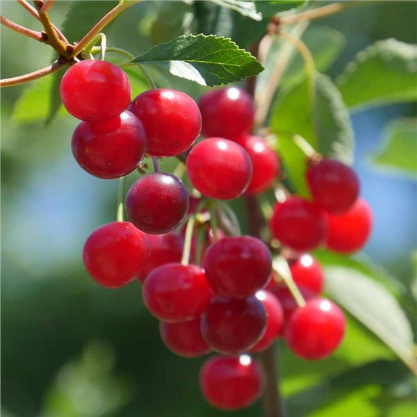 Montmorency Cherry - Prunus cerasus