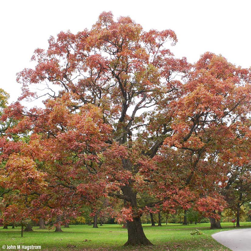 White Oak Tree On The Tree Guide At Arborday Org