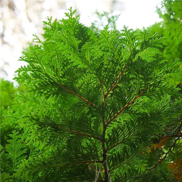 American Arborvitae - Thuja occidentalis