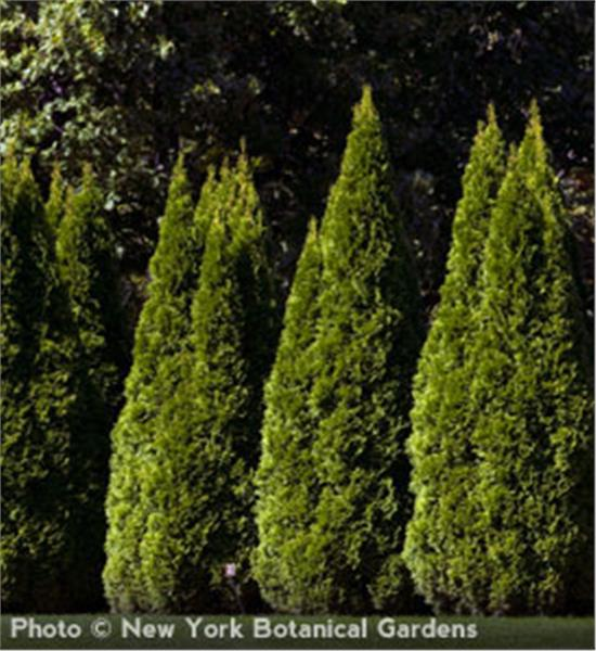 Emerald Arborvitae - Thuja occidentalis