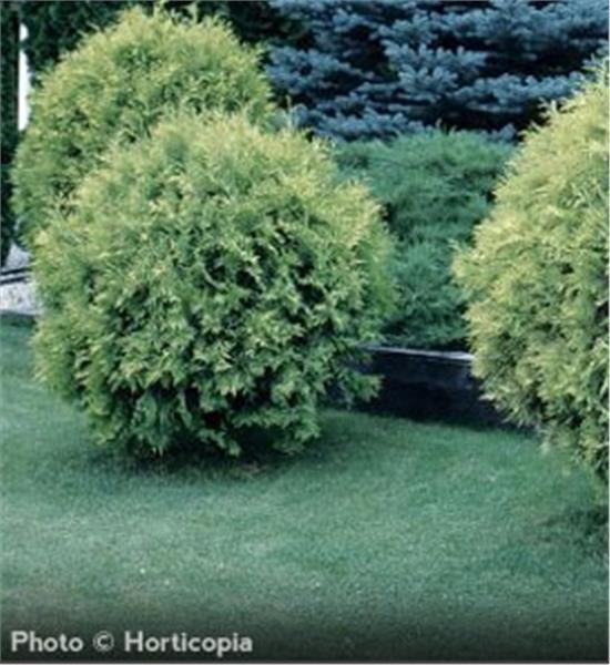 Golden Globe Arborvitae evergreen
