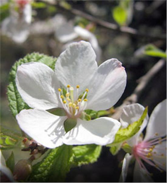 Nanking Cherry shrubs - Prunus tomentosa