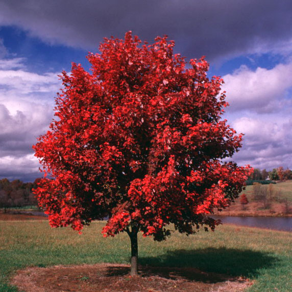 October Glory Maple Tree on the Tree Guide at arborday.org