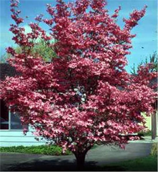 Red Dogwood - Cornus florida 'Rubra'
