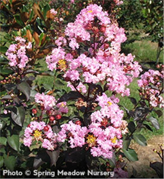 Rhapsody in Pink Crapemyrtle shrub - Lagerstroemia indica Whit VIII pp#16616;