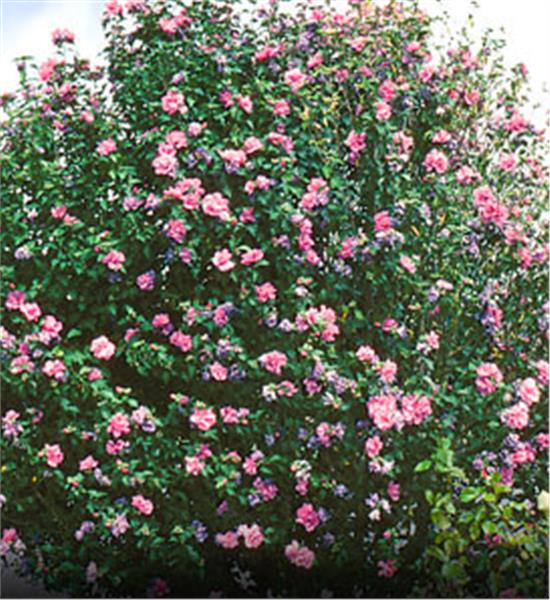 Rose of sharon tree. We offer roses of sharon and many other shrubs