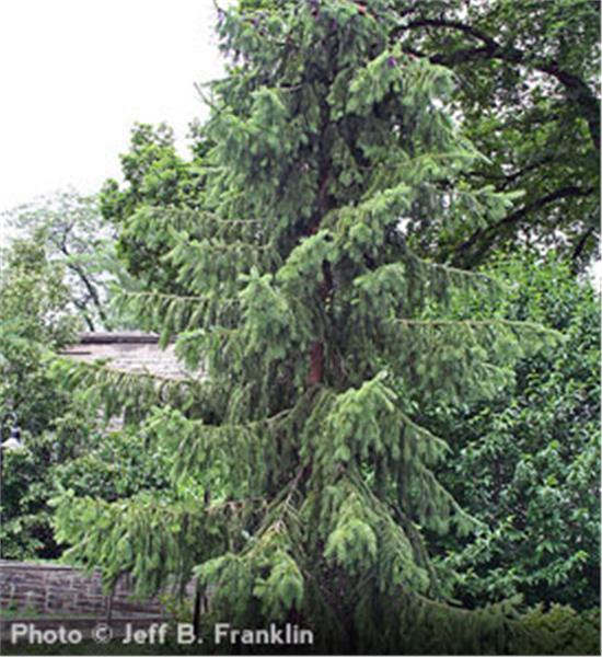 Serbian Spruce evergreen