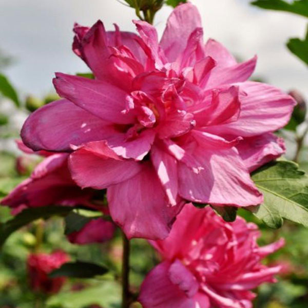 Red Althea Rose-of-Sharon