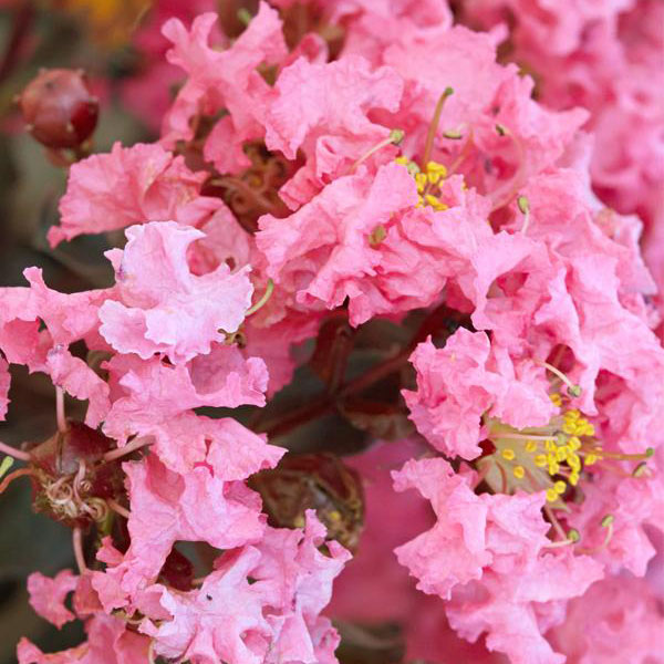 Shell Pink Crapemyrtle