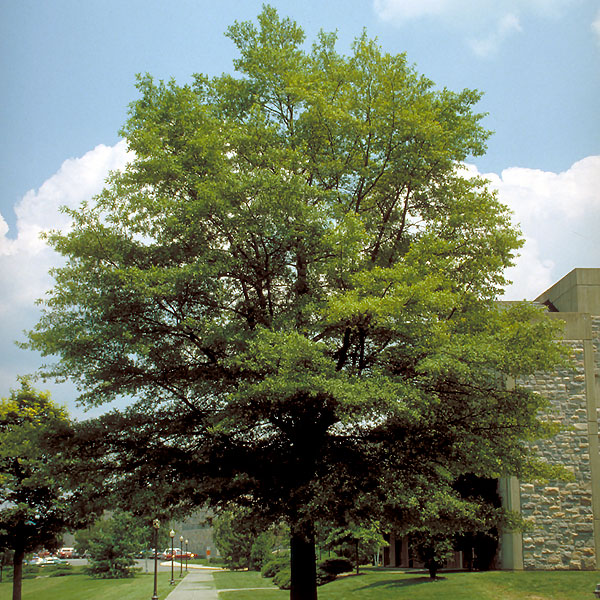 Willow Oak Tree On The Tree Guide At Arborday Org